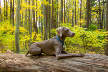 Weimaraner Dog Sitting On Log