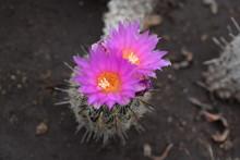 Cactáceas Y Suculentas Con Sus Vistosas Flores