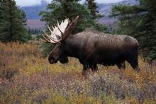Beautiful Wild Moose Bull In National Park Denali In Alaska