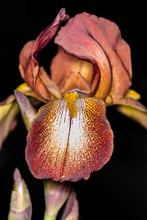 Close-up Of A Bronze Bearded Iris Flower With A Dark Background.