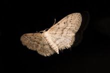 An Engrailed Moth (Ectropis Cr...