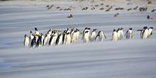 Gentoo Penguins Walk In A Line On Beach