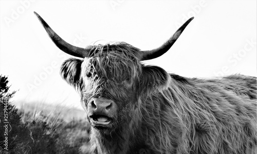 Fototapety, obrazy: Hardy Highland cow on Exmoor, Somerset