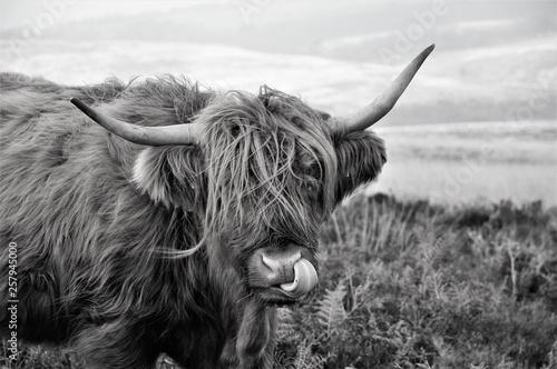 Fototapety, obrazy: Hardy Highland cow on Exmoor, Somerset