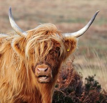 Hardy Highland Cow On Exmoor, ...