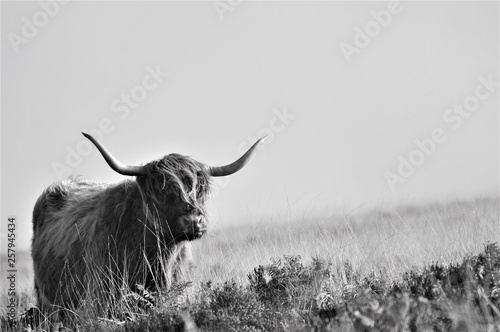 Fototapeta Hardy Highland cow on Exmoor, Somerset obraz
