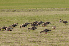 White Fronted Geese Feeding And Resting In A Green Grass Field.