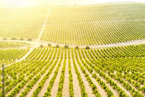 Valokuva  Landscape of vineyards at sunset