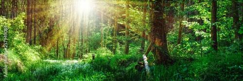 Fotografie, Obraz  Panorama Landschaft, Wald im Frühling mit Sonnenstrahlen durch die Bäume