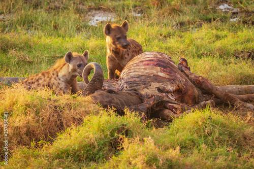 Photo  Two hyena scavenging bloody kill dead buffalo at Lake Nakuru national park