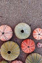 Colorful Sea Urchin Shells On ...
