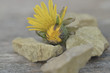 Display of dandelion and pebbles