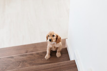2 Month Old Cute English Cocker Spaniel Puppy On The Stairs