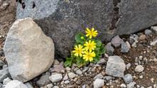 Alpine Buttercup Flower Growing Between Rocks In Tongariro National Park