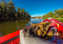 The Dog Days Of Summer - A Dog Is Enjoying An Evening Float On The River