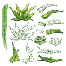 Aloe Vera Plant Sketches. Herb Leaf, Nature Flora