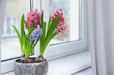 Blooming spring hyacinth flowers on windowsill at home, space for text