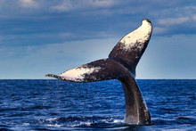 Humpback Whale Flukes Seen Dur...