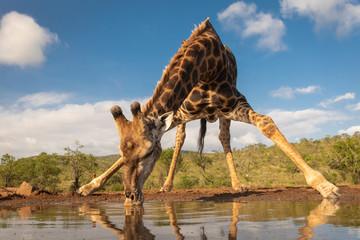 Panel Szklany Żyrafa Southern giraffe drinking water