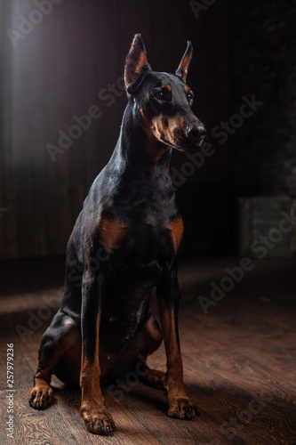 Foto Doberman Pinscher against black background front view