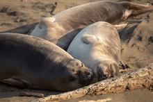 Young Elephant Seals Recline On The Beach Along California's Central Coast