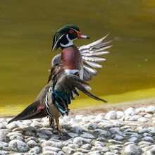 Carolina Duck Or Wood Duck, Aix Sponsa, Colorful Duck Standing,  Snorting After Bath