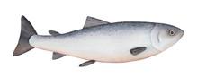 Atlantic Salmon Watercolor Ill...