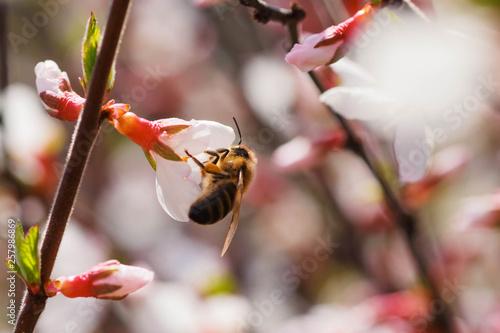 Valokuva Bee on flower of Nanking cherry Prunus tomentosa