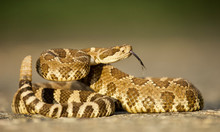 Rattlesnake Coiled And Poised To Strike, Displaying Forked Tongue