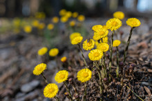 Coltsfoot Flowers On The Edge Of A Forest Path