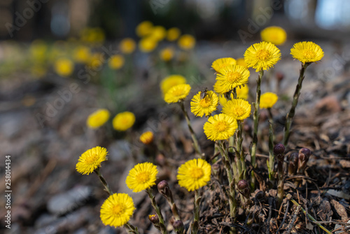 Coltsfoot flowers on the edge of a forest path Canvas-taulu