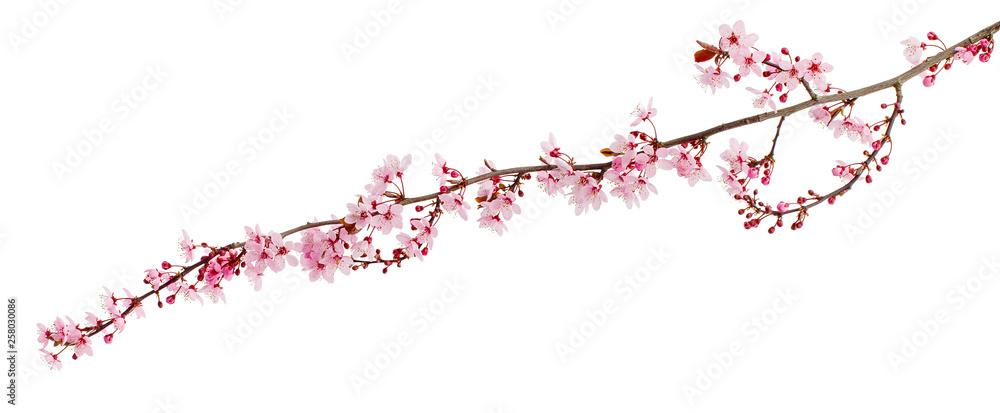 Fototapeta Cherry blossom branch, sakura flowers isolated on white background