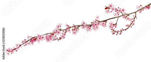 Obraz Cherry blossom branch, sakura flowers isolated on white background - fototapety do salonu