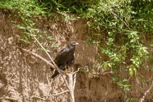 Common Black Hawk (Buteogallus...