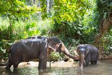Tourist Asian Elephants In Cap...