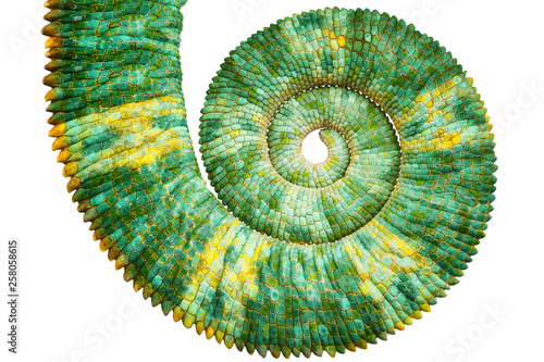 Poster de jardin Cameleon Close view of a beautiful green colorful chamaeleo calyptratus tail revealing the mathematic fibonacci spiral curve on black background. Species also called veiled, cone-head or yemen chameleon.