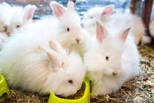 Three Funny Fluffy White Angora Rabbit In A Cage.