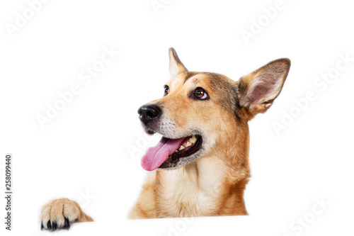 Cuadros en Lienzo Red hair dog sitting, looking at the camera, isolated on white
