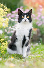 Cute Black And White Cat, European Shorthair, Sitting Attentively In A Flowery Garden