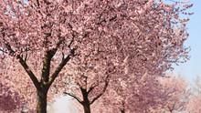 Ornamental Plum Flowers
