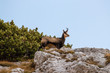 chamois standing on a rock