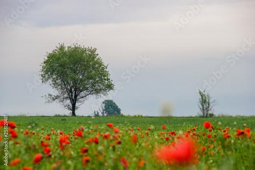 Foto op Plexiglas Blauwe hemel Spring field with red poppies, green grass and distant trees, landscape, Kazakhstan