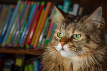 Moxie, The Maine Coon Cat Watches Intently Off-screen, While Sitting In Front Of A Colorful Shelf Full Of Books
