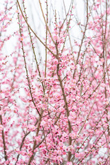 Fototapeta Drzewa pink plum bloossom