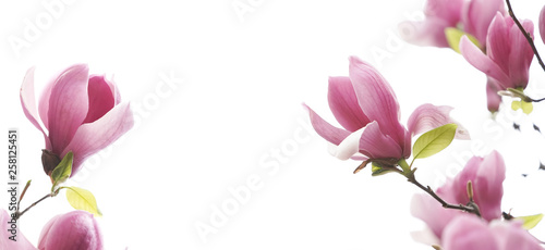 In de dag Magnolia magnolia flower spring branch isolated on white background