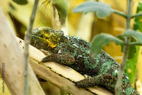 Photo Stands Chameleon Eidechse