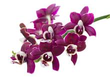 Blooming Twig Of Dark Purple W...