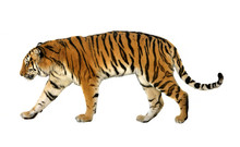 Young Siberian Tiger (P. T. Altaica), Also Known As Amur Tiger, On White Background