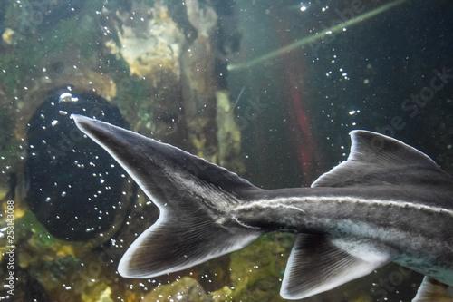 Fish sturgeon swims in the aquarium of oceanarium. Sturgeon fish