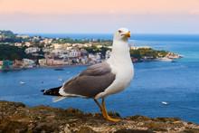 Seagull On Ischia Island